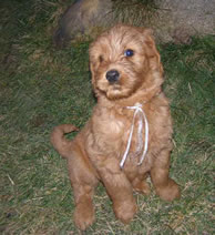 Ginger Labradoodle pup